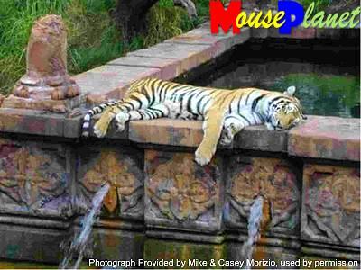 Disney world 12 jours de rêves en image Maharajah_jungle_trek_tiger_morizio