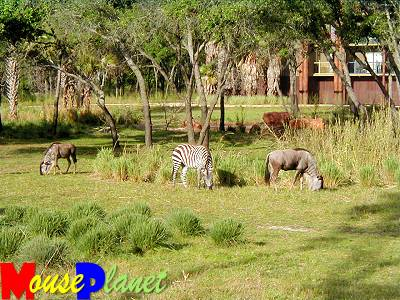Disney world 12 jours de rêves en image View_of_zebra_trail_savannah_closeup